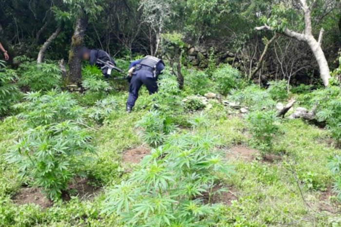 policía michoacan ayudó a retirar plantíos de marihuana